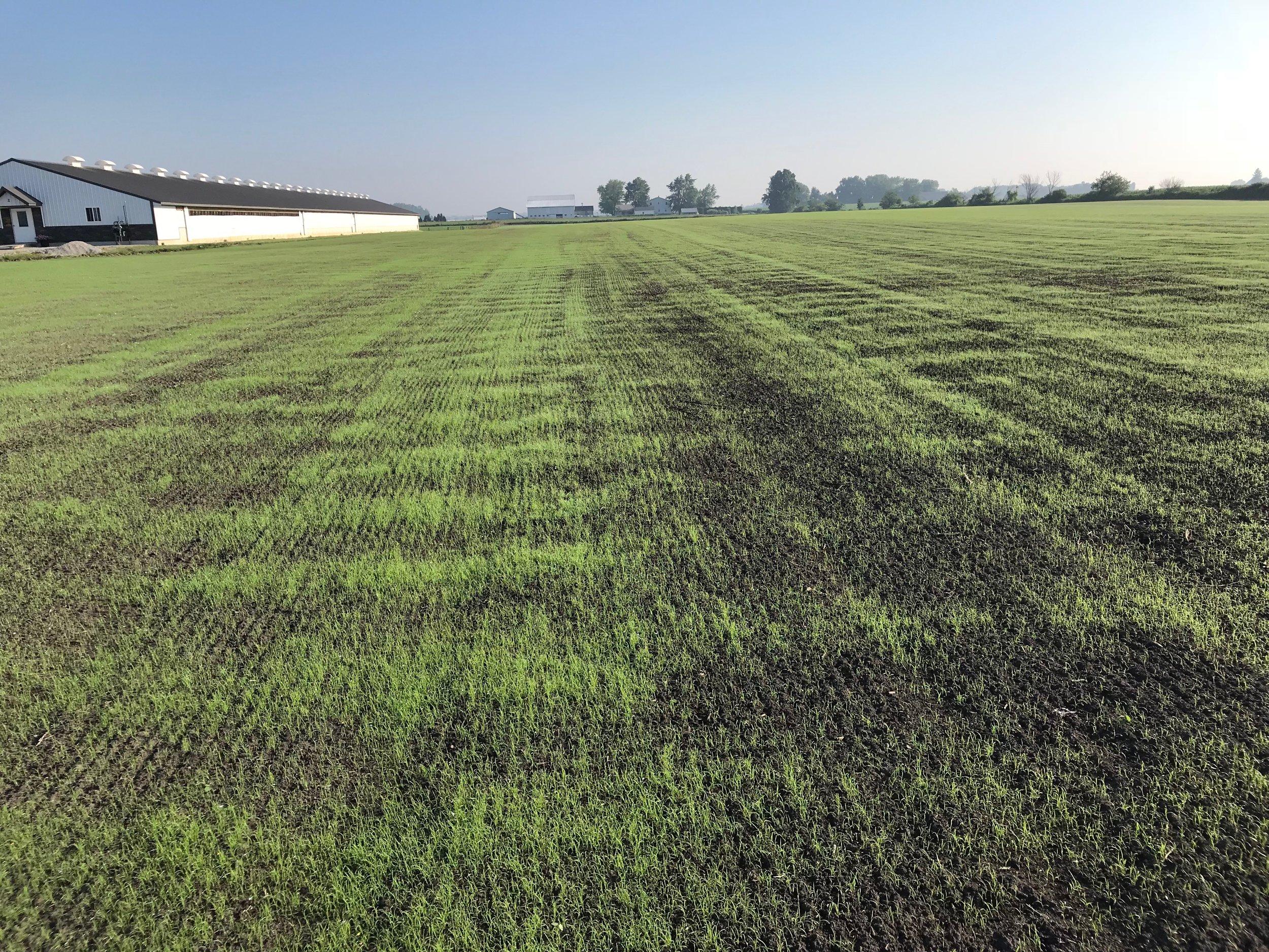 2018.6.28 - Teff - Bremen - 13 days after planting3.JPG