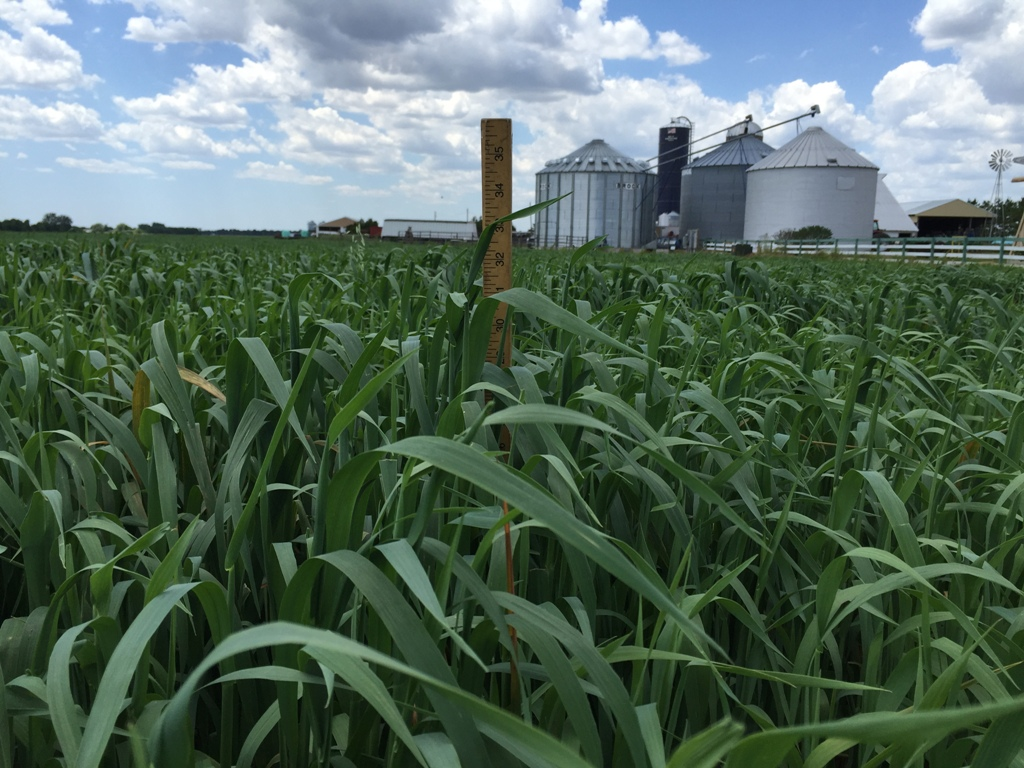 Haywire Forage Oats