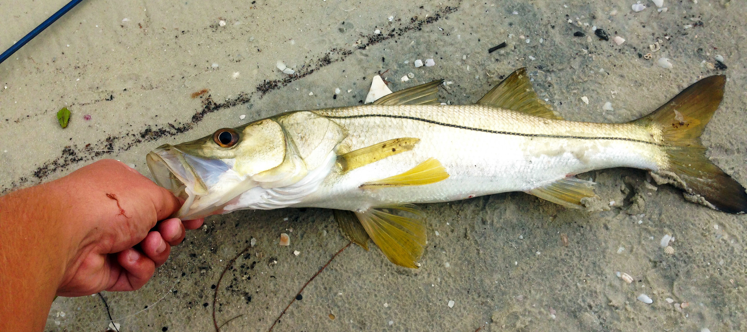 A nice little Florida snook caught by Trey Dyer using a shrimp pattern fly
