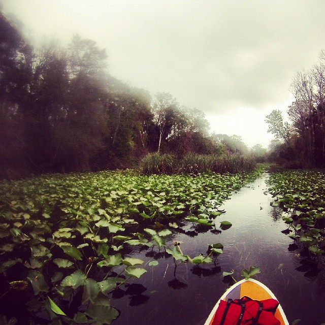 Water lilies in the Wekiva River on our Paddleboard Tour