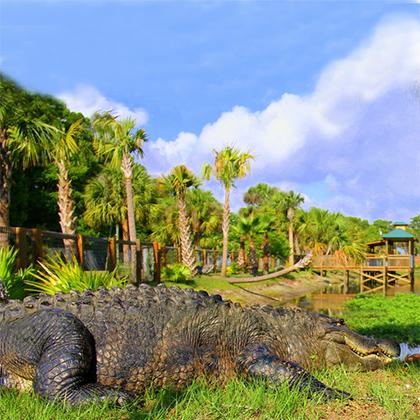 Florida Alligator near Orlando
