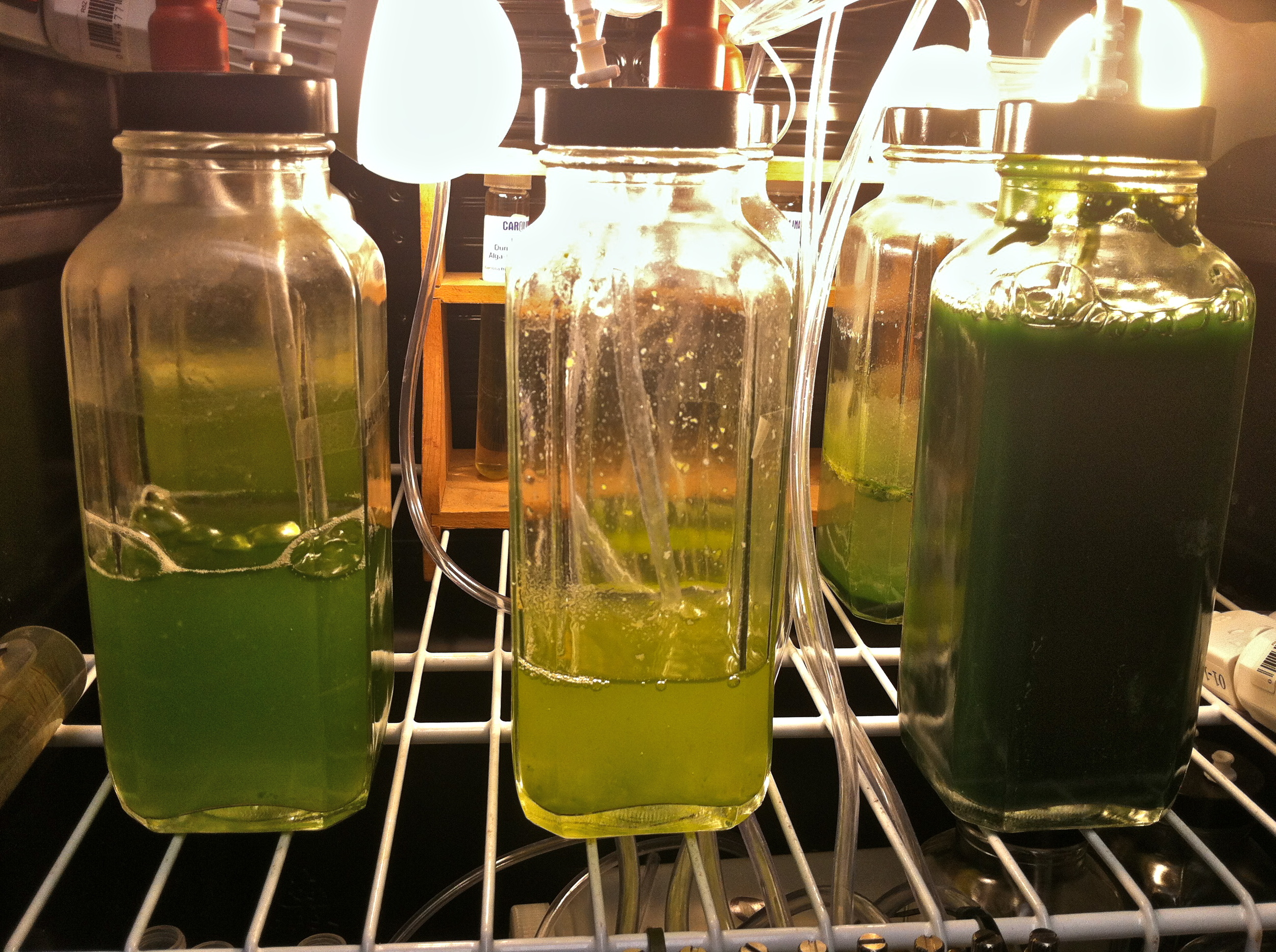 Growth chamber with small scale algae cultures.  Haematococcus ,  Spirulina  and  Dunaliella  are shown here.