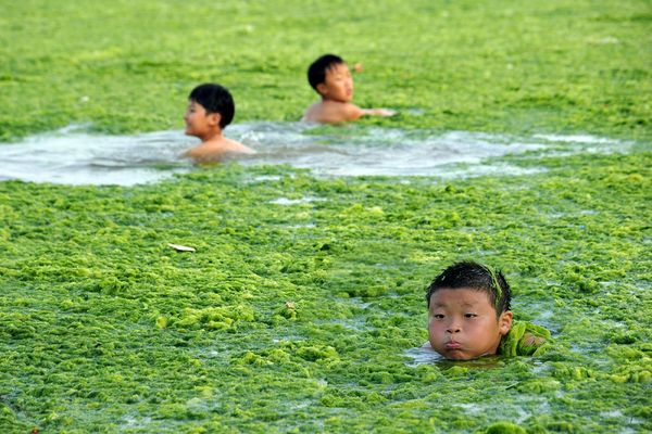 Here is an algal bloom in China. These non-toxic algae are still alive and growing, but when they begin to rot, the swimming hole will lose its appeal.
