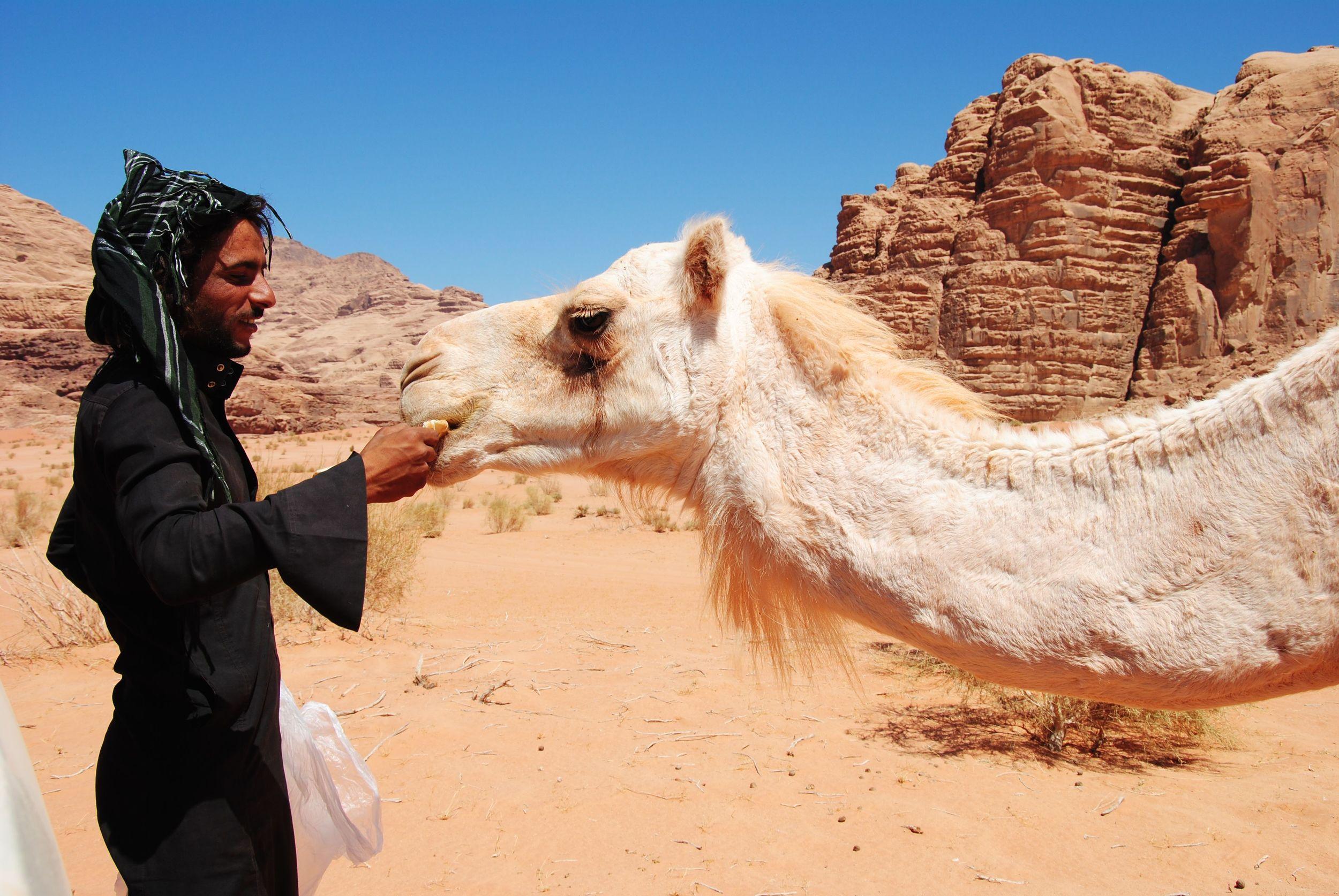 camel lunchtime wadi rum.jpg