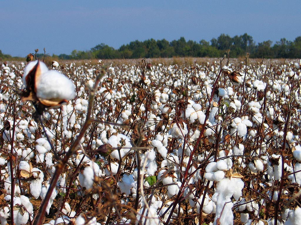 Organic cotton fields in Texas, aren't they pretty?