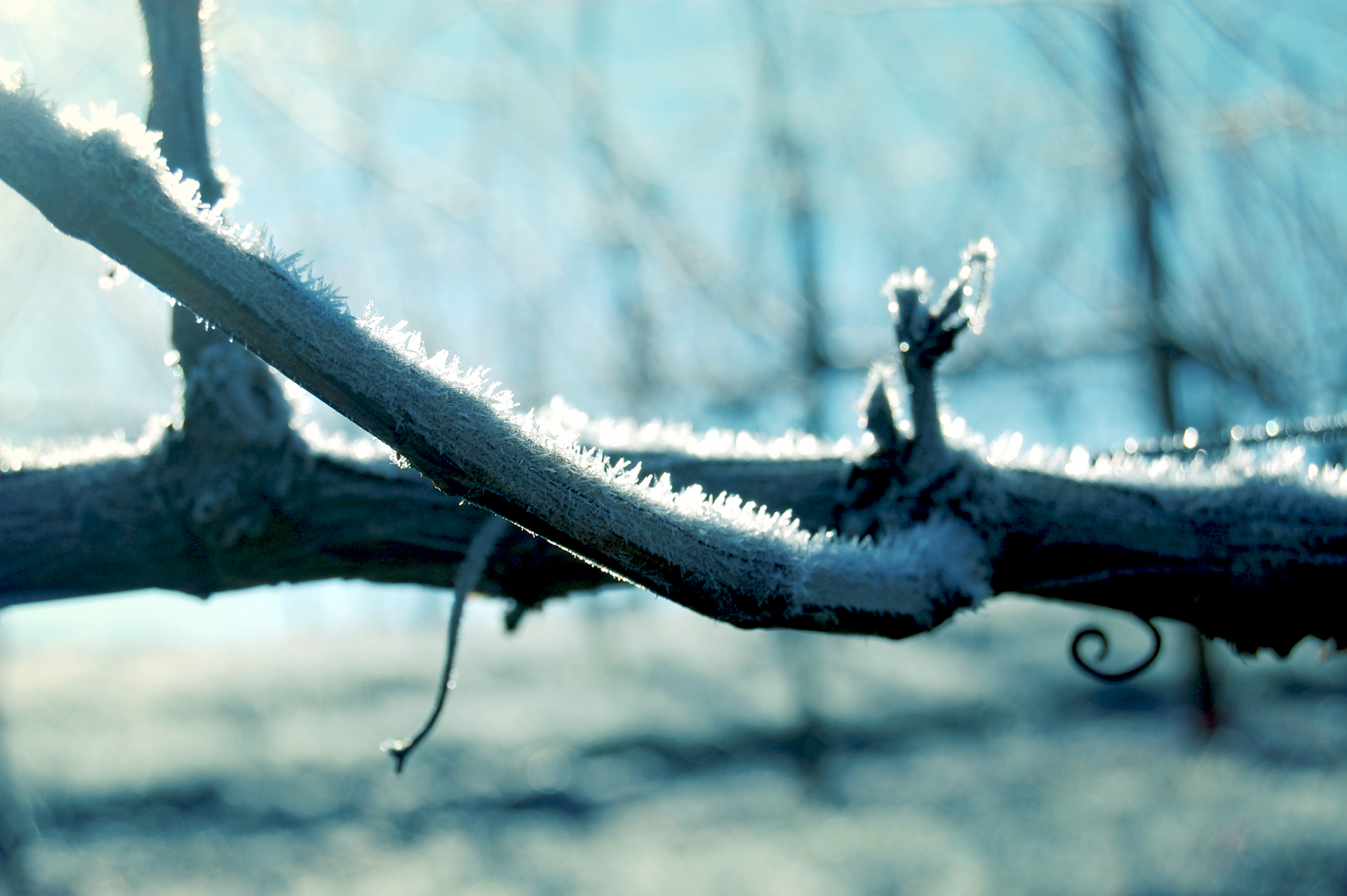 Frost on the vines, winter 2013