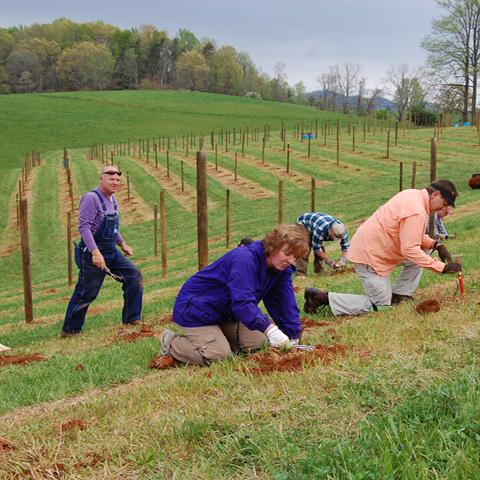 Planting Cabernet copy.jpg