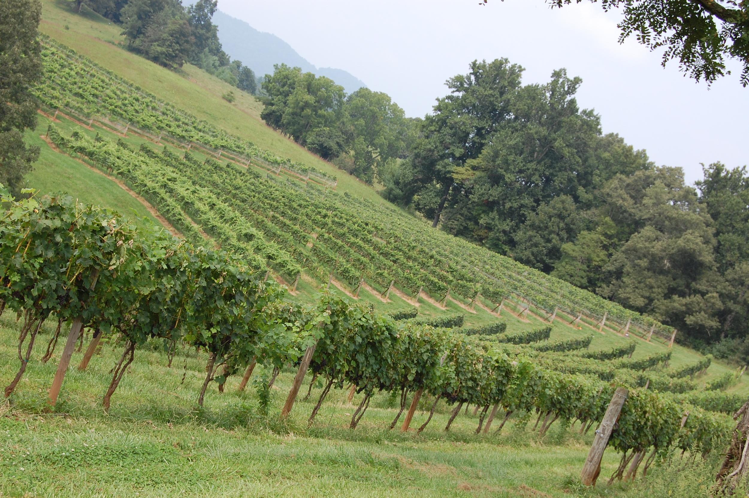 Addison Farms Vineyard 20 Aug 2013, mostly trim and proper.