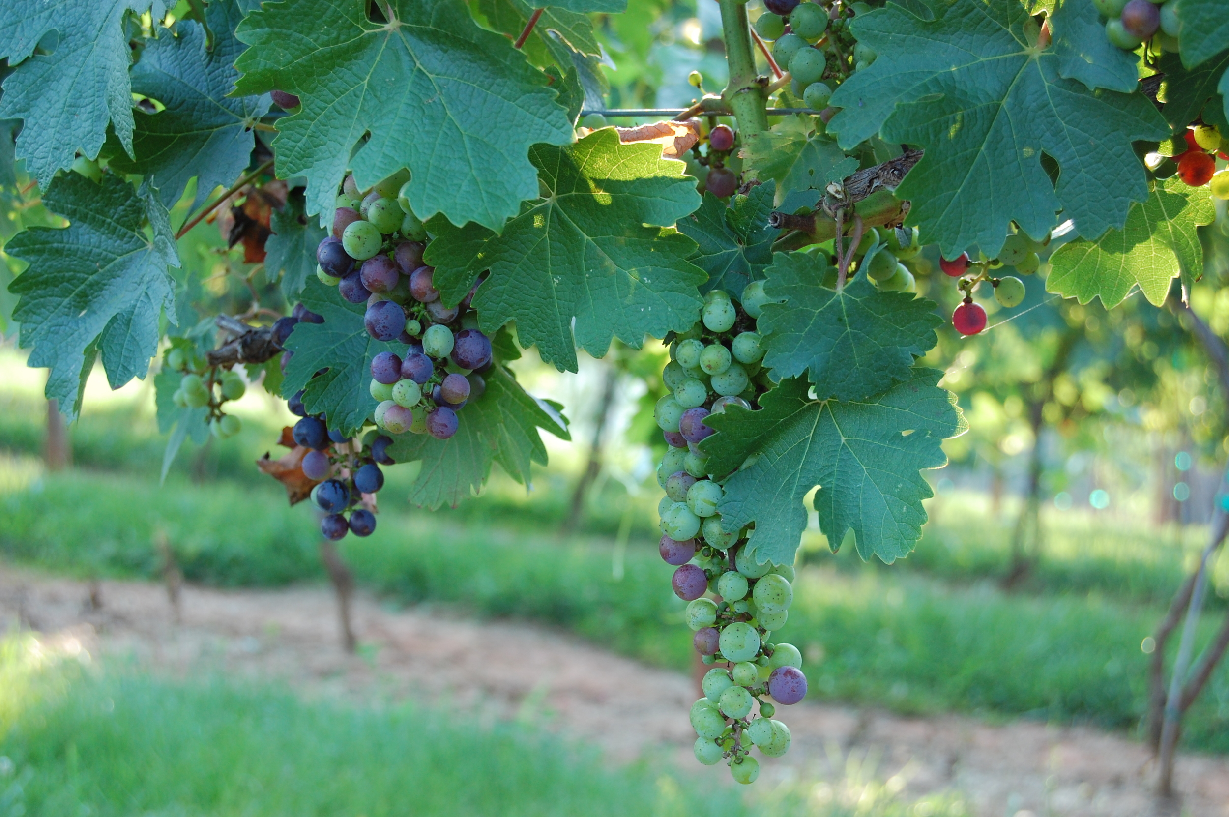 Veraison, the onset of ripening