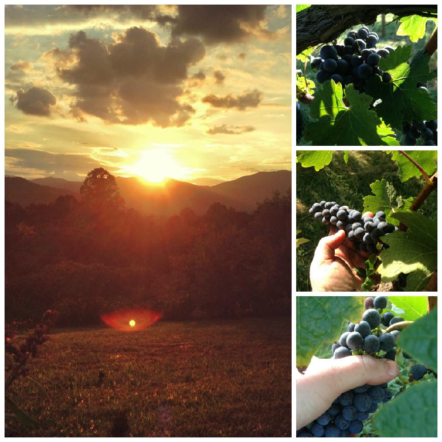 Crush 2016, harvesting the Cabernet Sauvignon