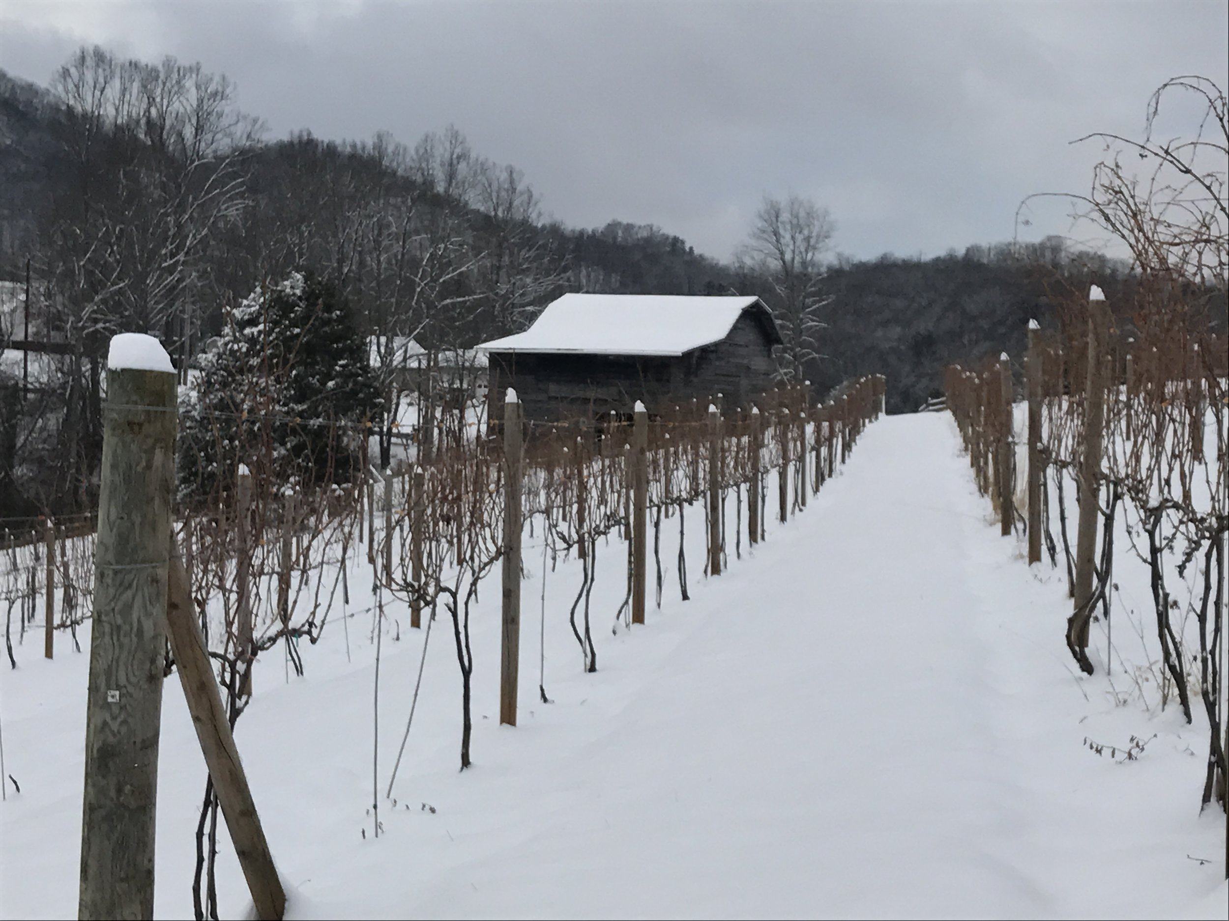 Snow in the vines, 7 Jan 2017