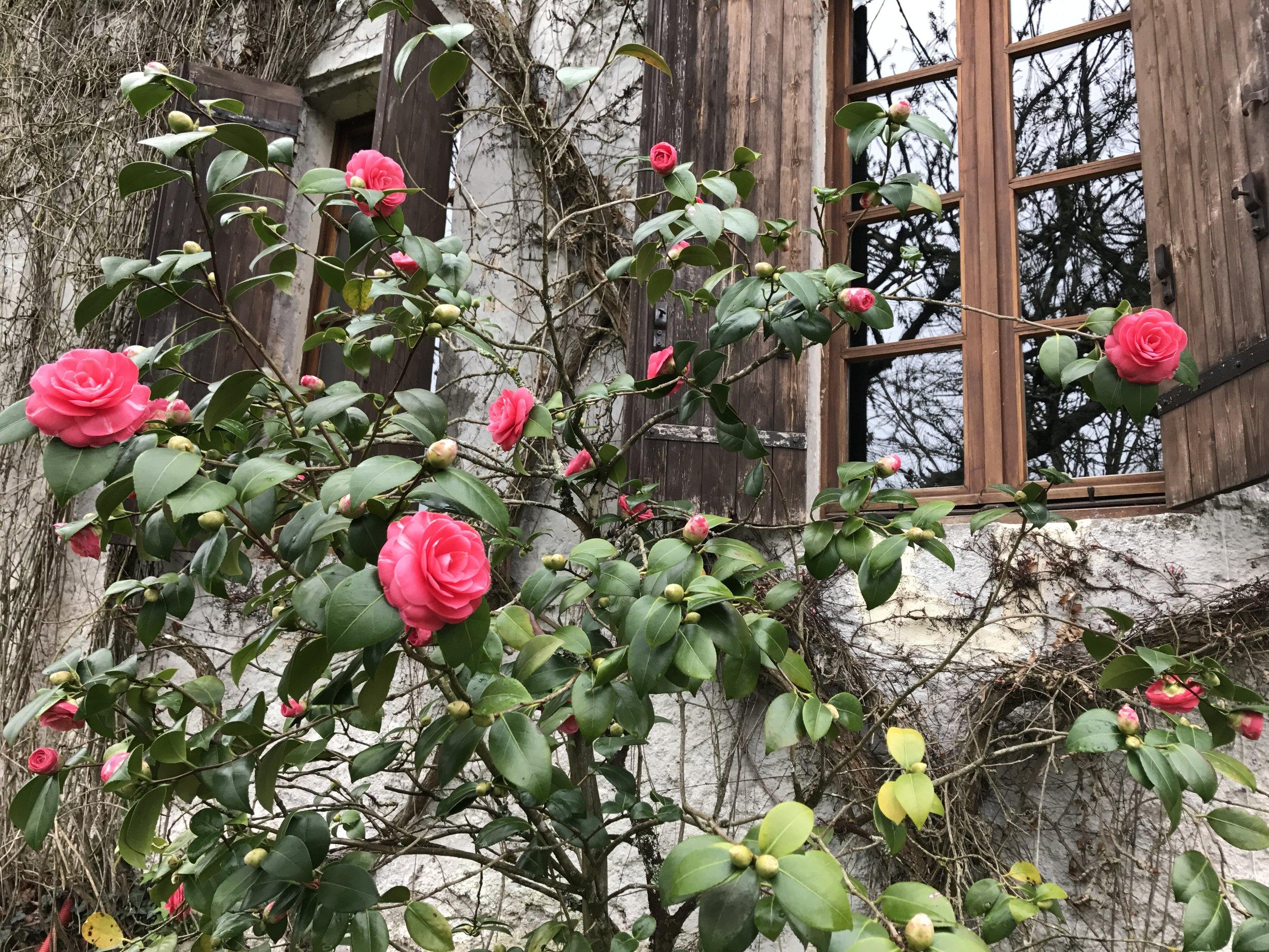 Roses at Mamie et Papi