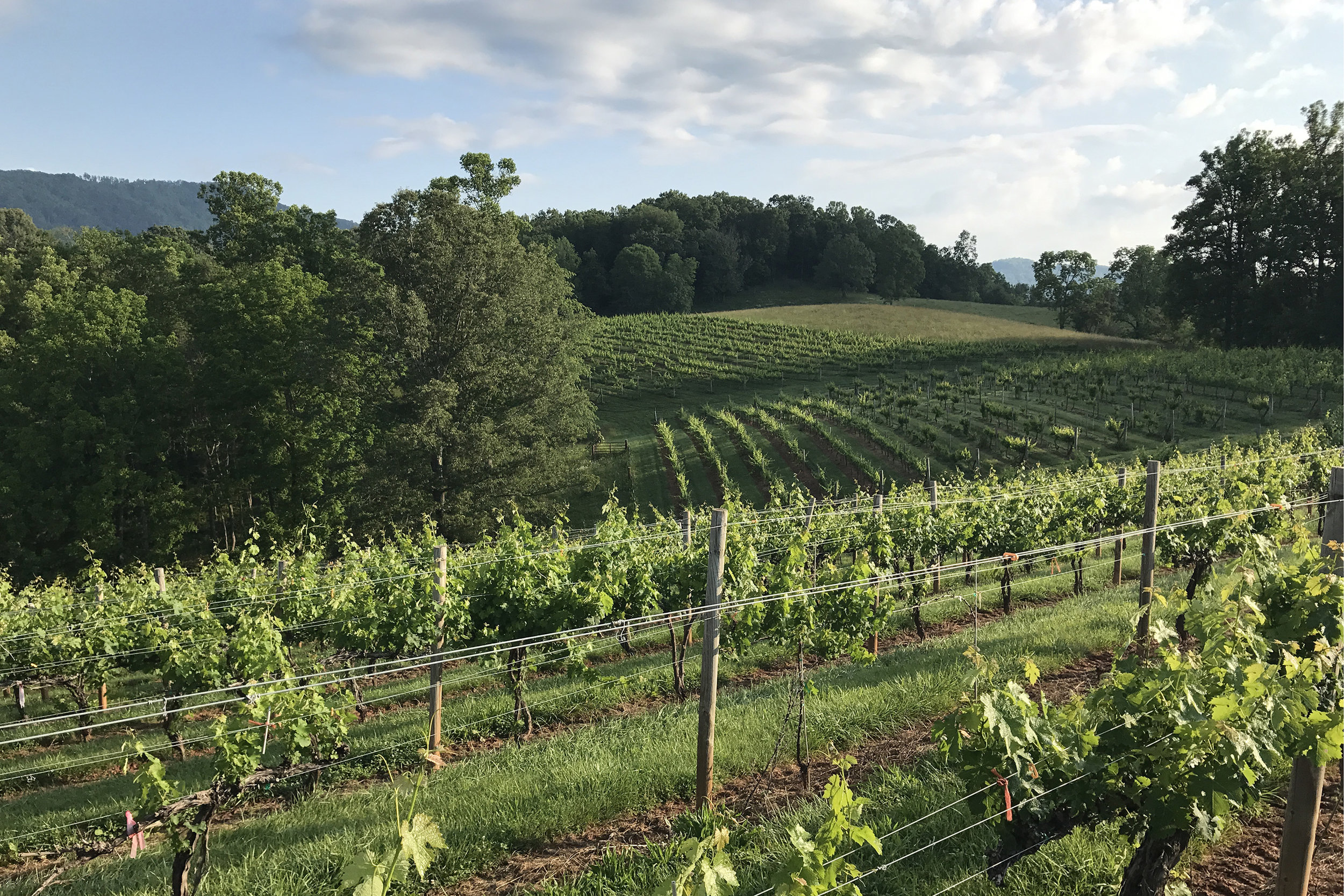 Morning view of the vineyard 2 June 2017