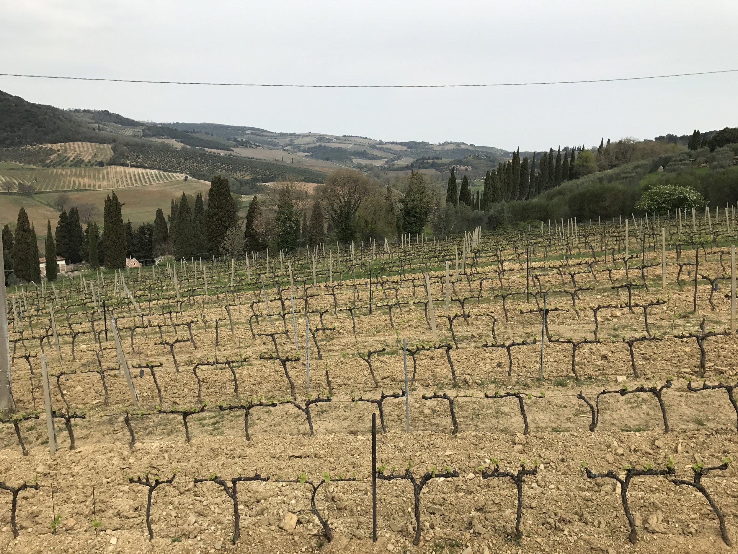Vineyard at La Palazzetta