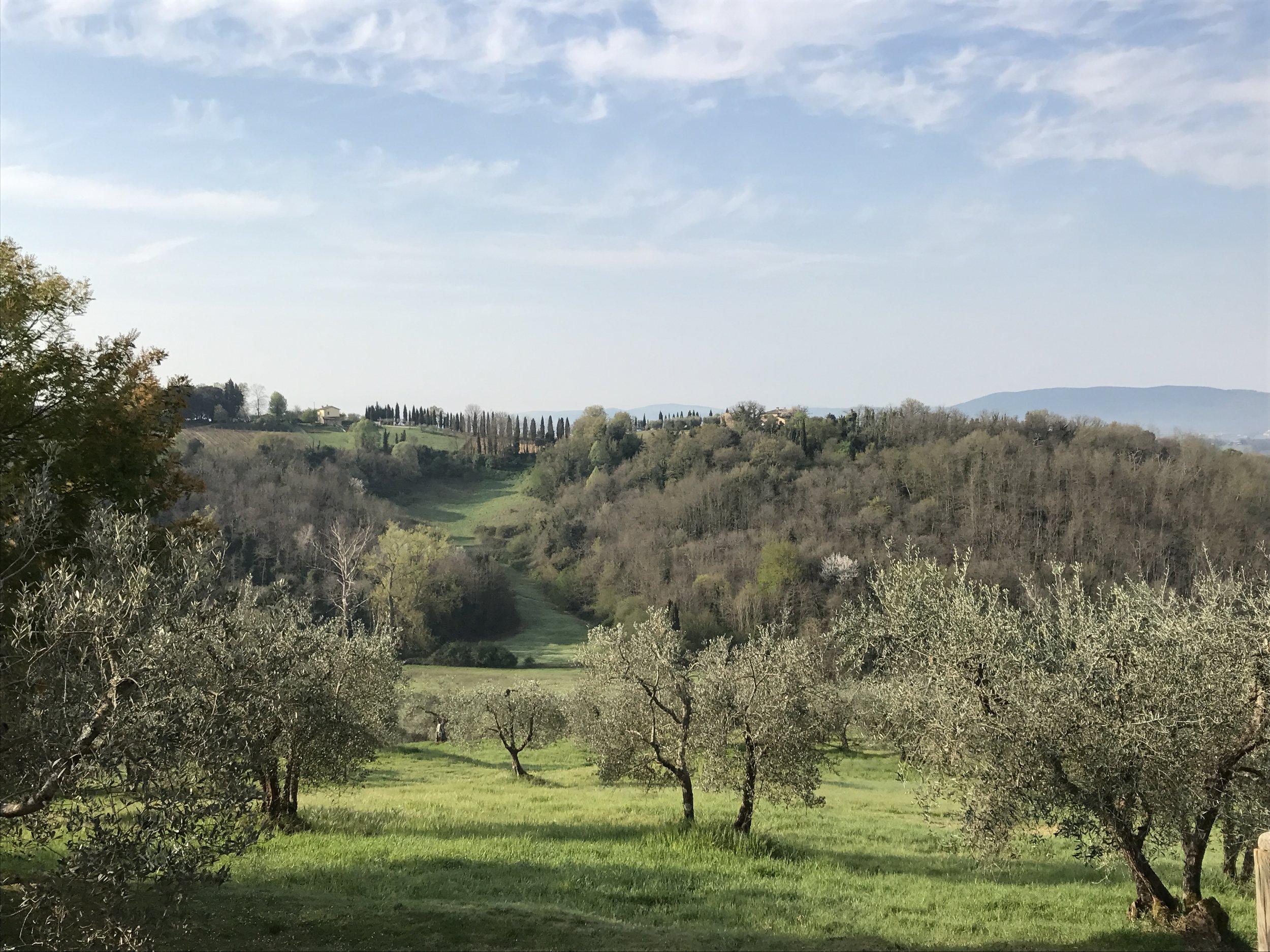 Olive grove at Terra Rossa, near Siena IT