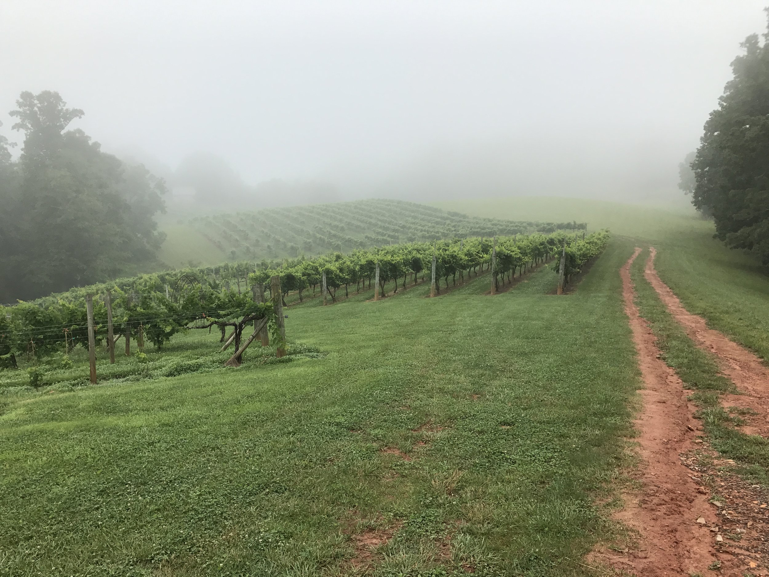 Foggy morning in the vineyard