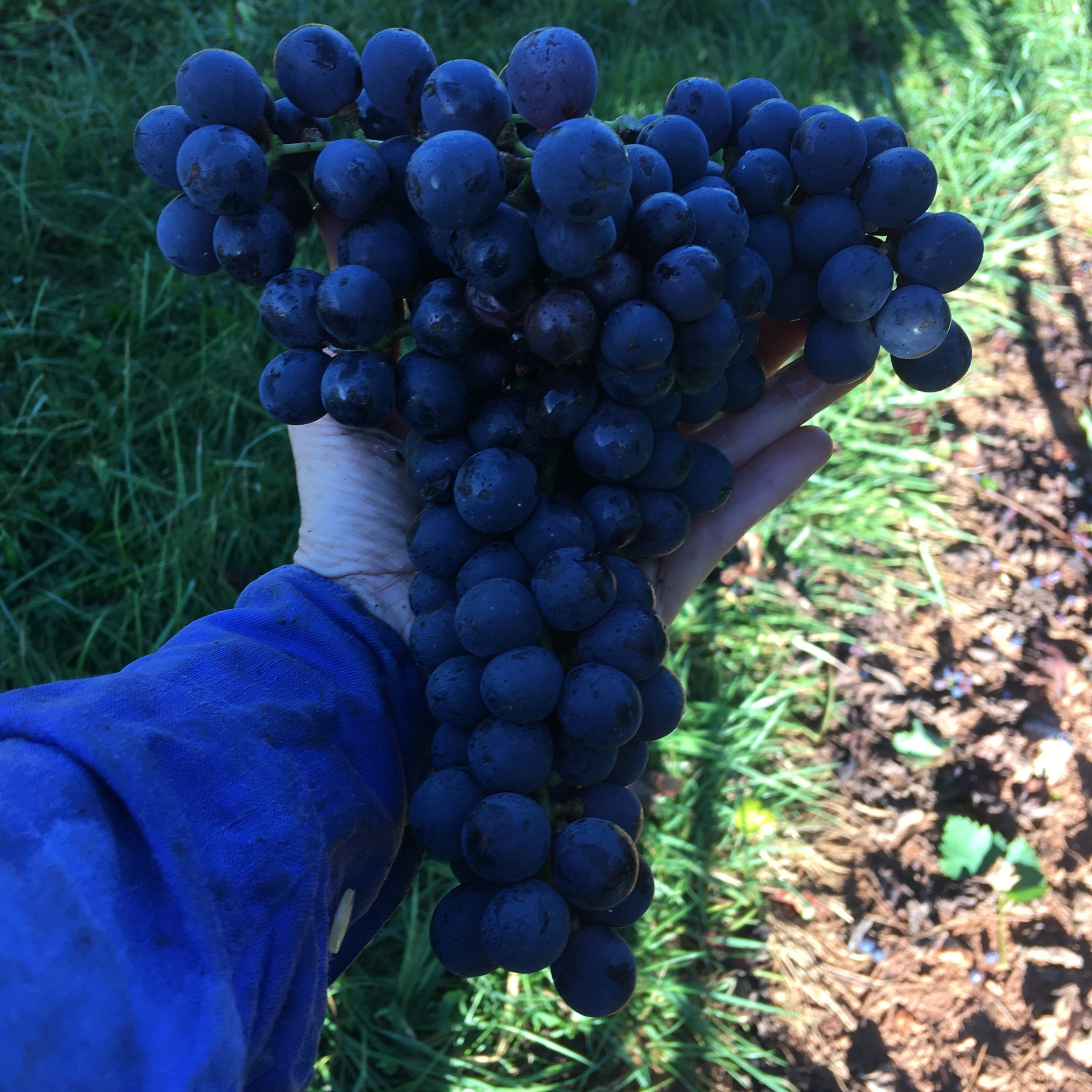 Beautiful cluster of 2018 Sangiovese
