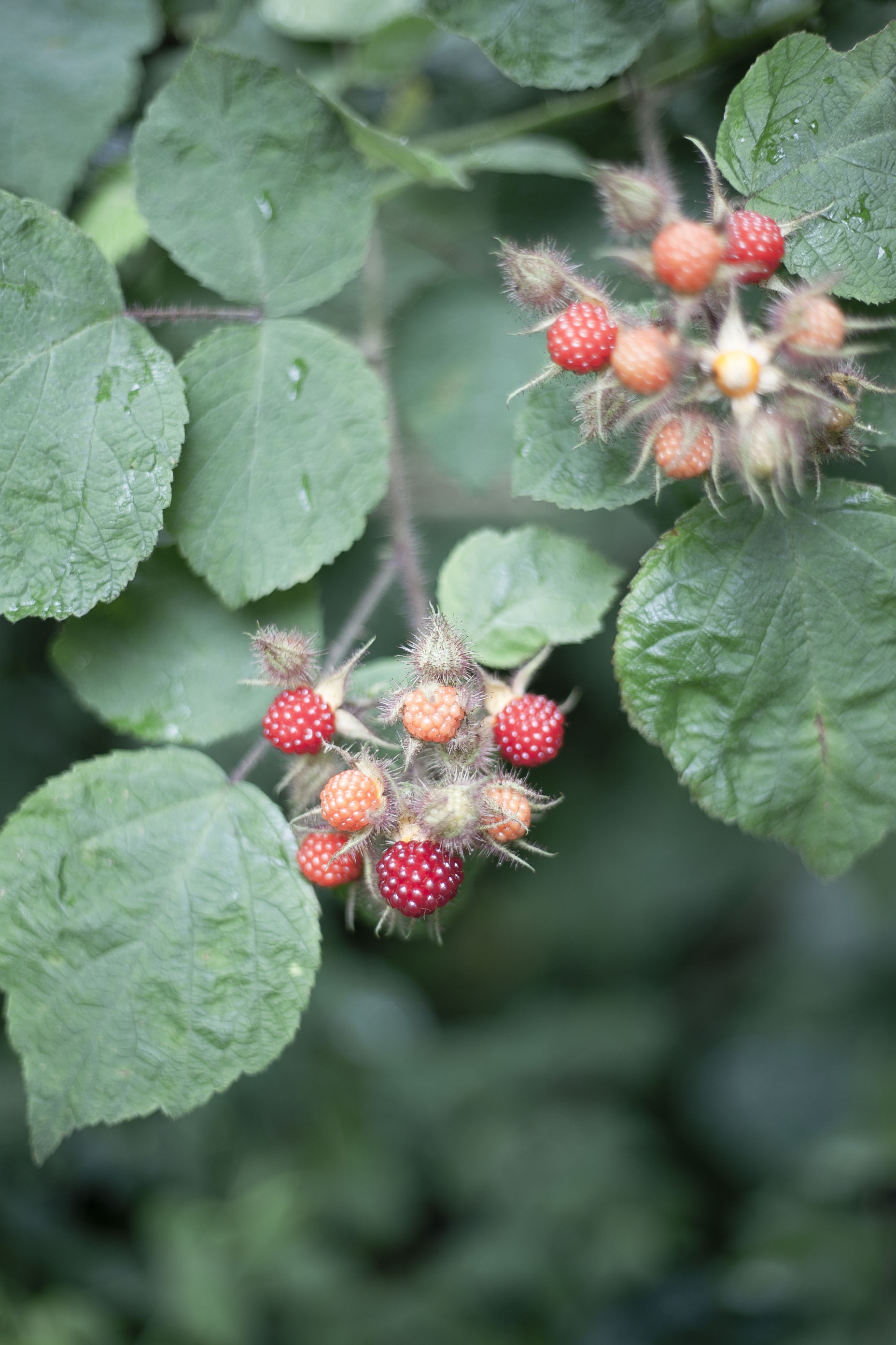 wineberries