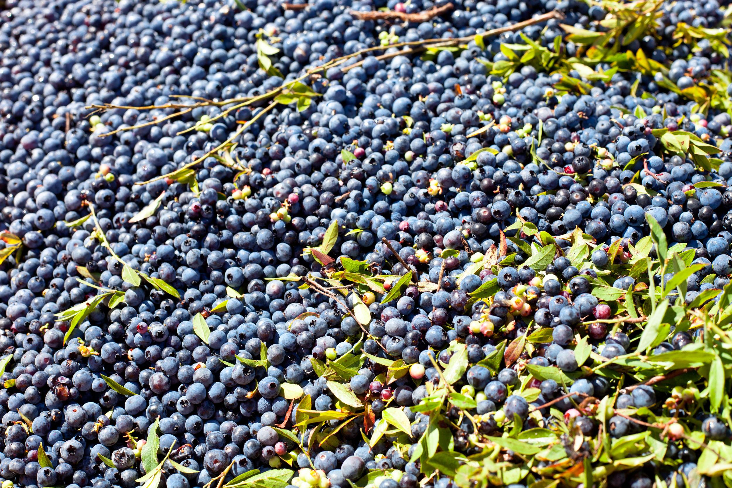 wild blueberry barren