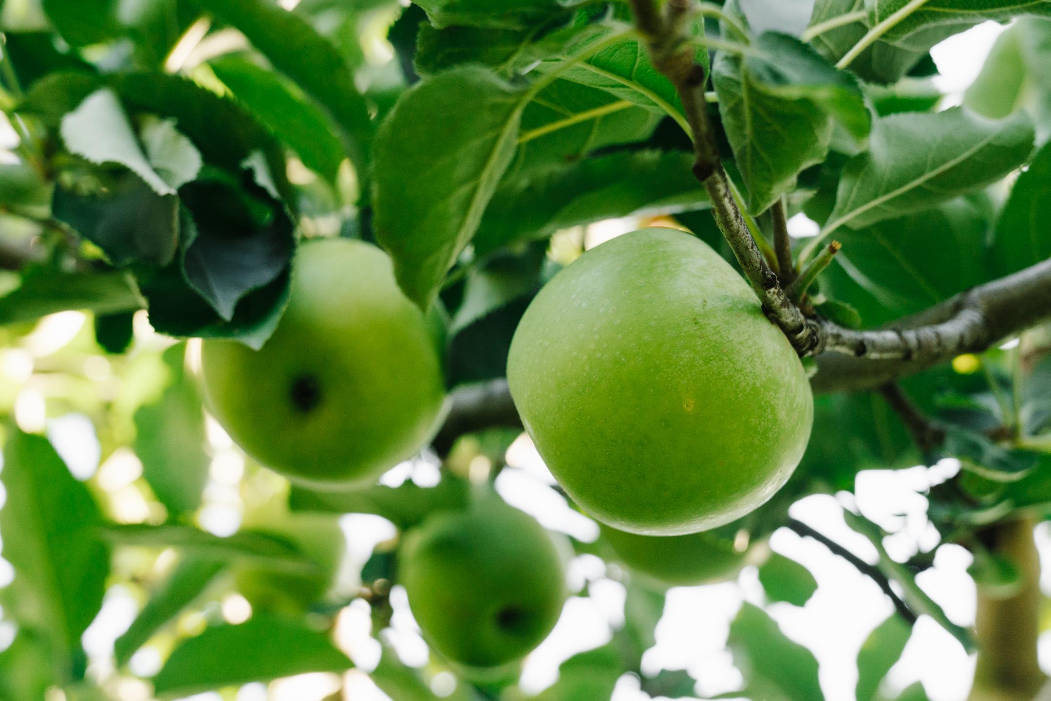 northern Virginia apple orchard picking