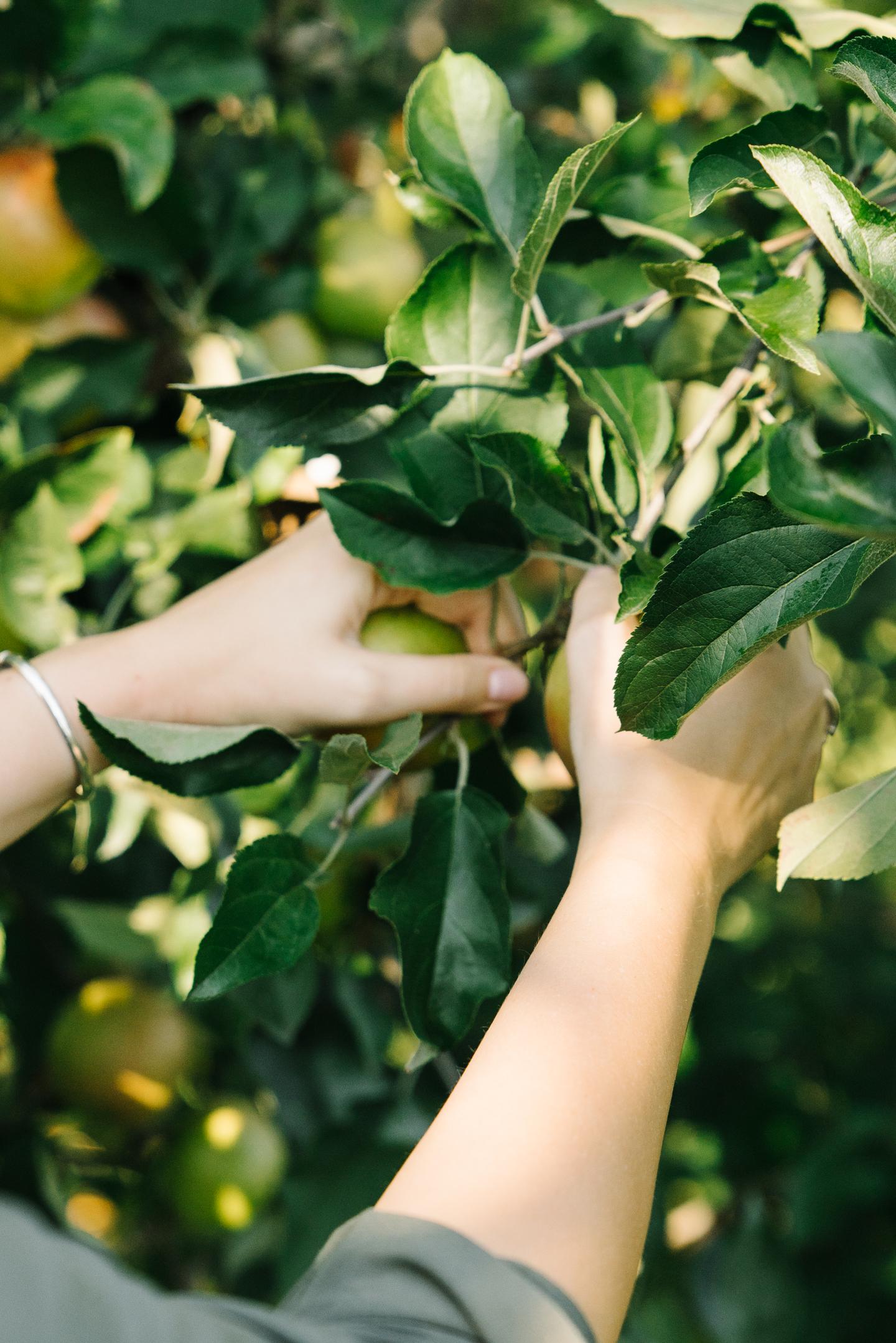 virginia apple orchard