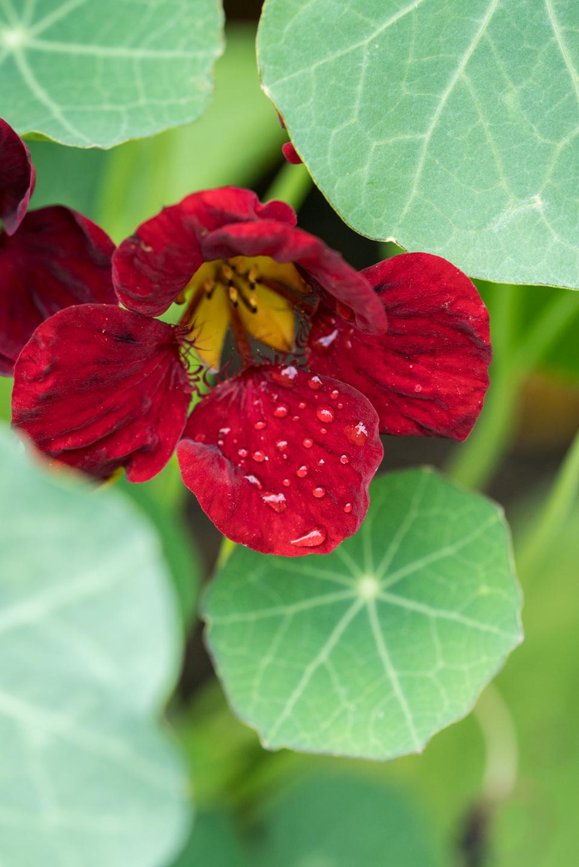 garden edible flowers