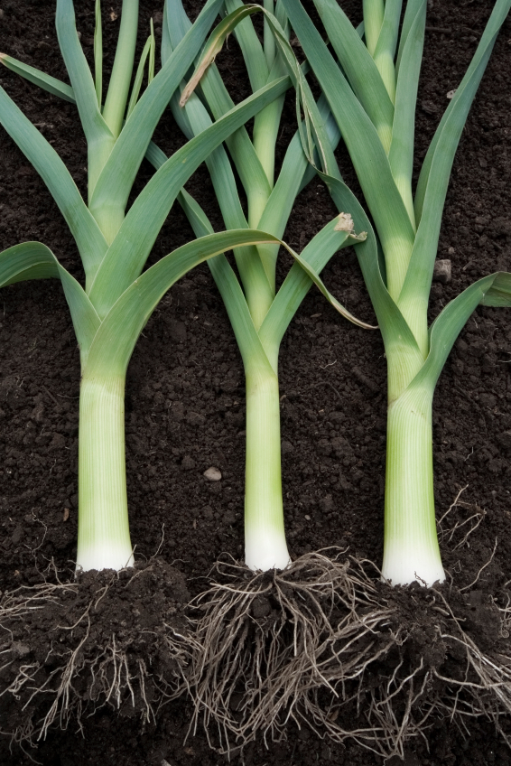 Leeks are much larger than scallion and shouldn't be substituted.