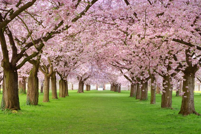 Heaven in Japan? Or hell in allergy season?