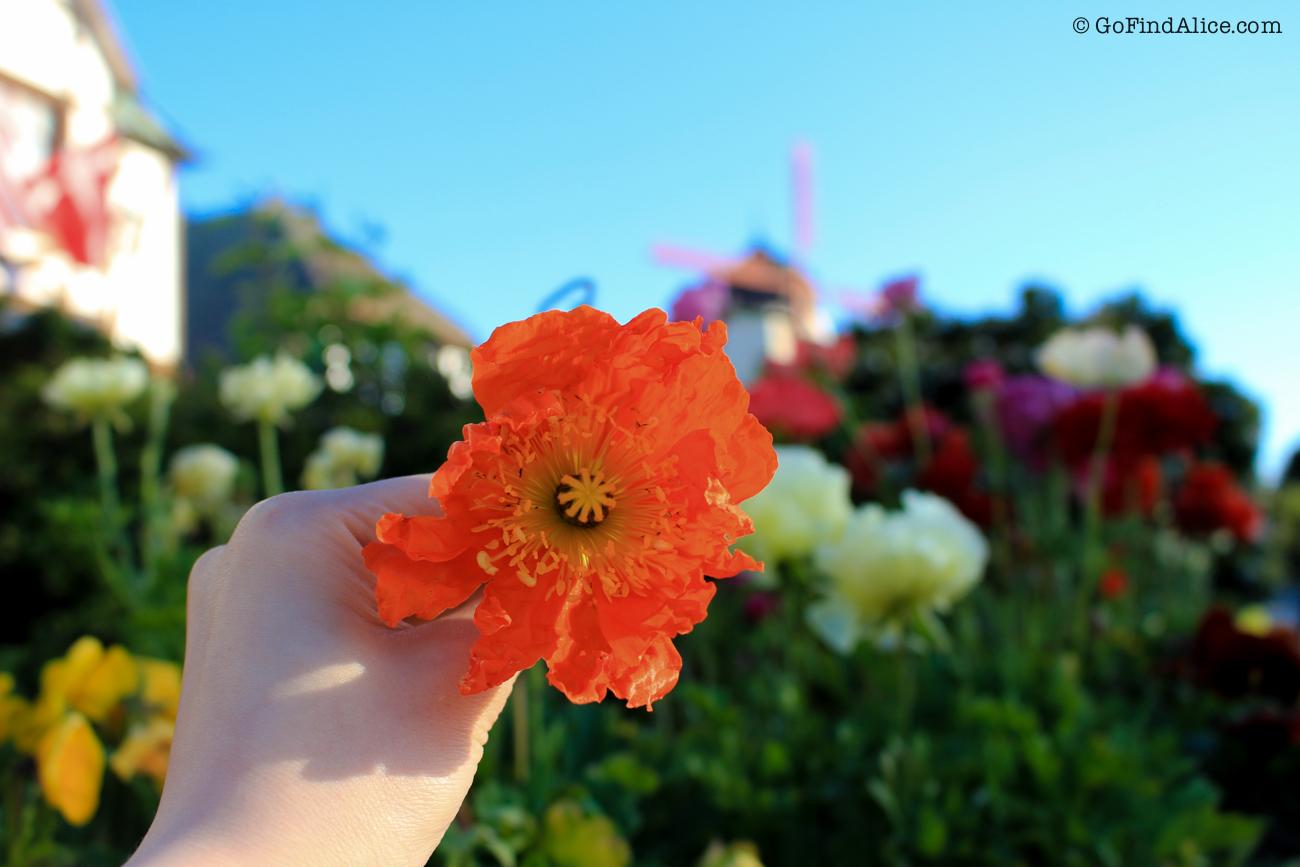 flowers_solvang