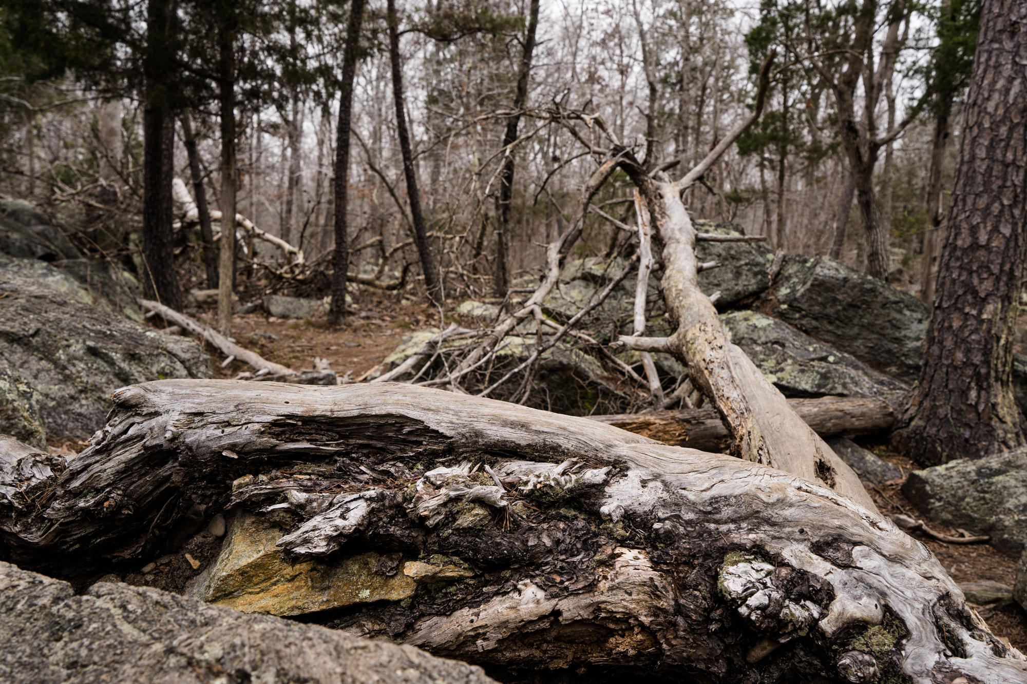 We came across many downed trees along the Billy Goat trail, some likely from the recent flooding. These particular trees were high above the water lines, full of interesting textures and lines.