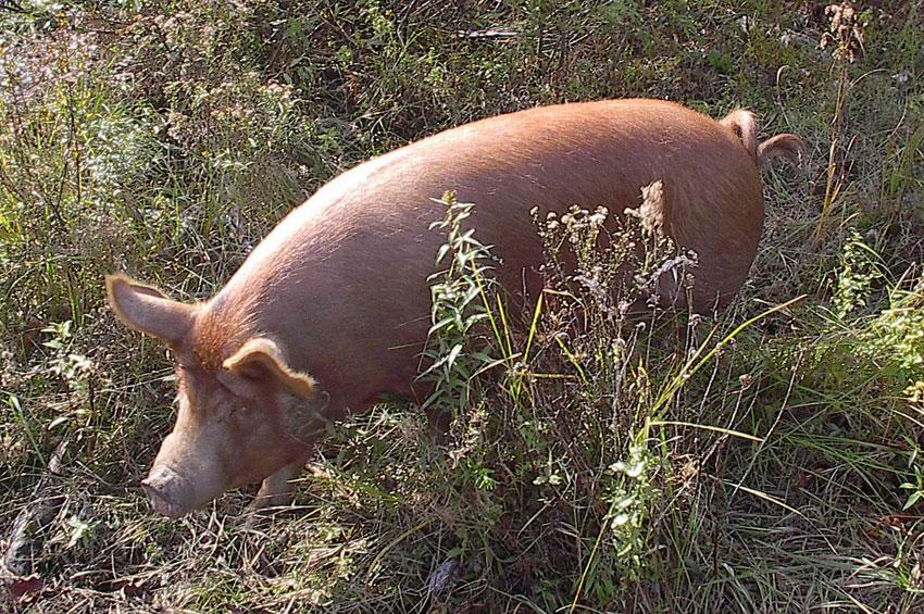 pigs-2010-006.jpg