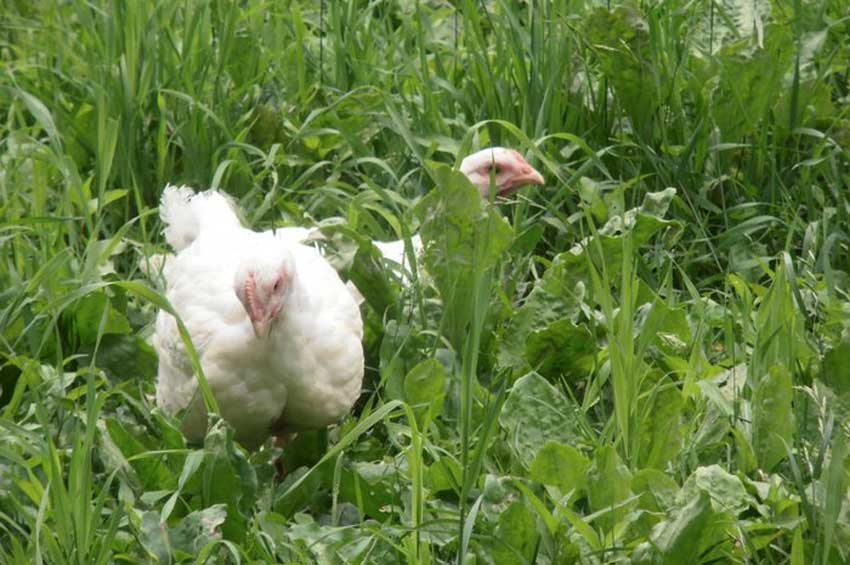 chicken-new-3.jpg