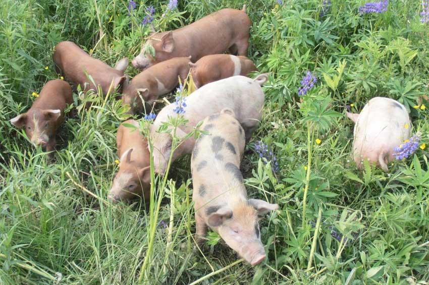 pigs-new-3.jpg