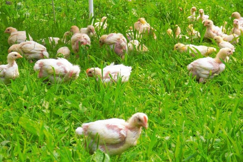 Meat-Bird-1.jpg