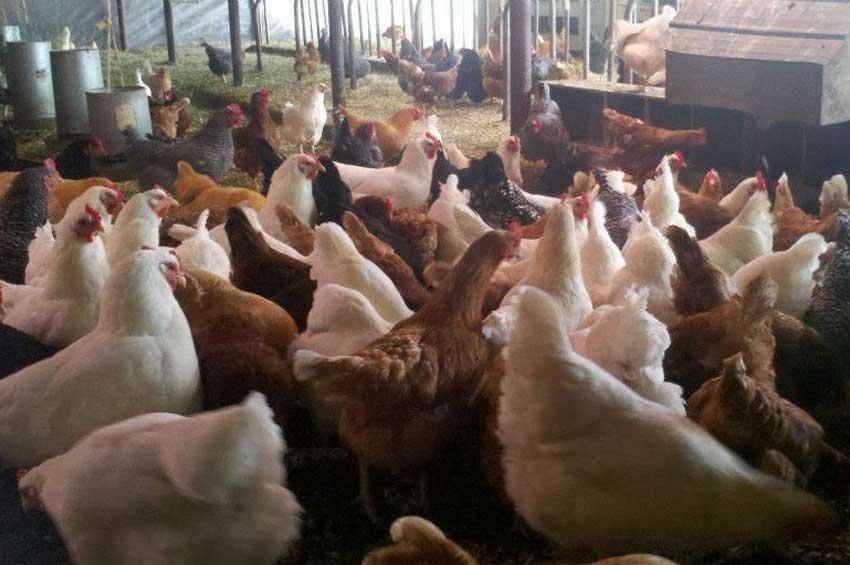 chickens-new-5.jpg