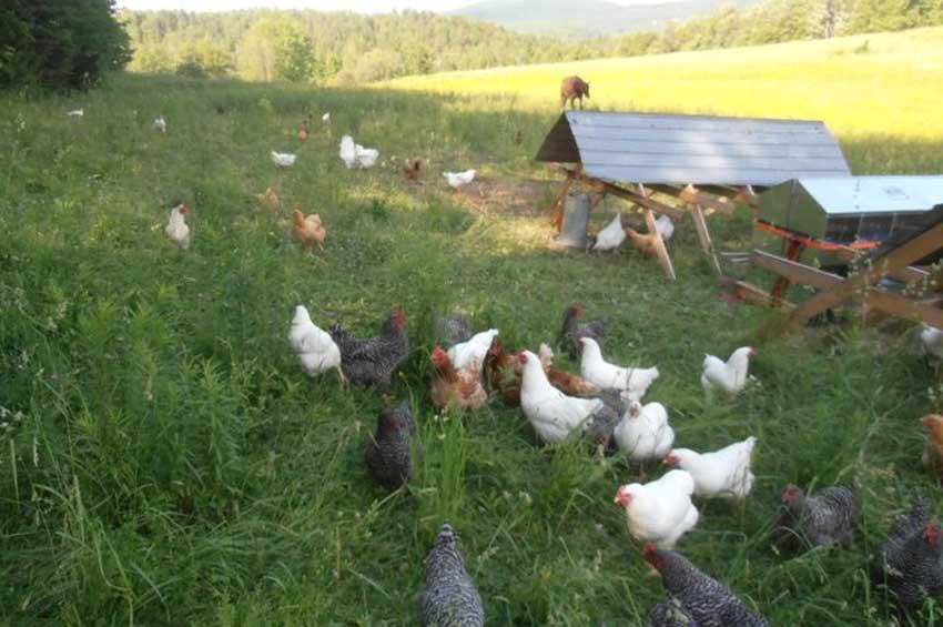 Chicken-new2.jpg