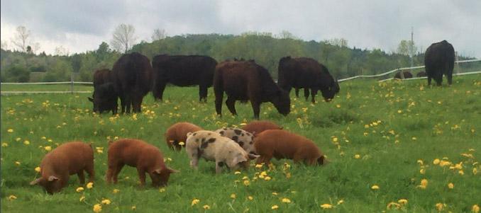 cows-pasture.jpg