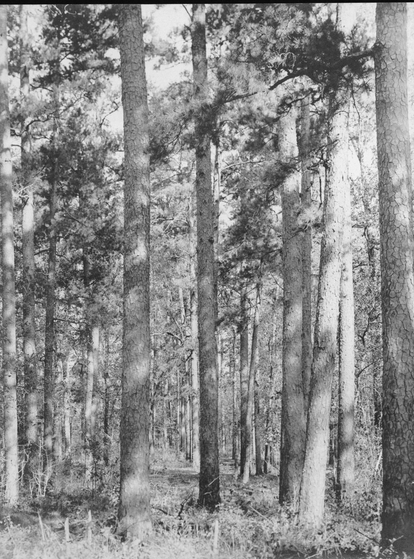 S. P. 308 Shortleaf Pine Timber near the Cotton Belt Route