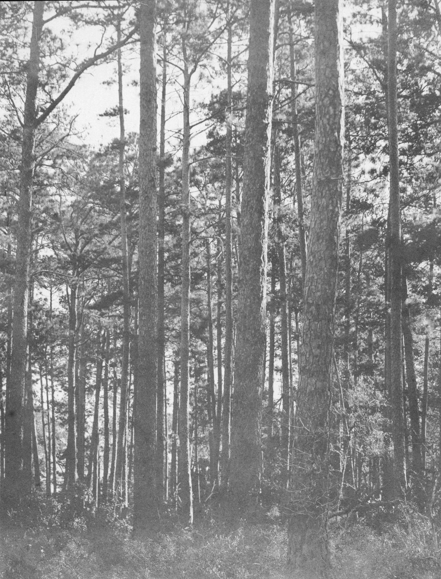 S. P. 331 Shortleaf Yellow Pine Timber, Buck Wammuck's Place
