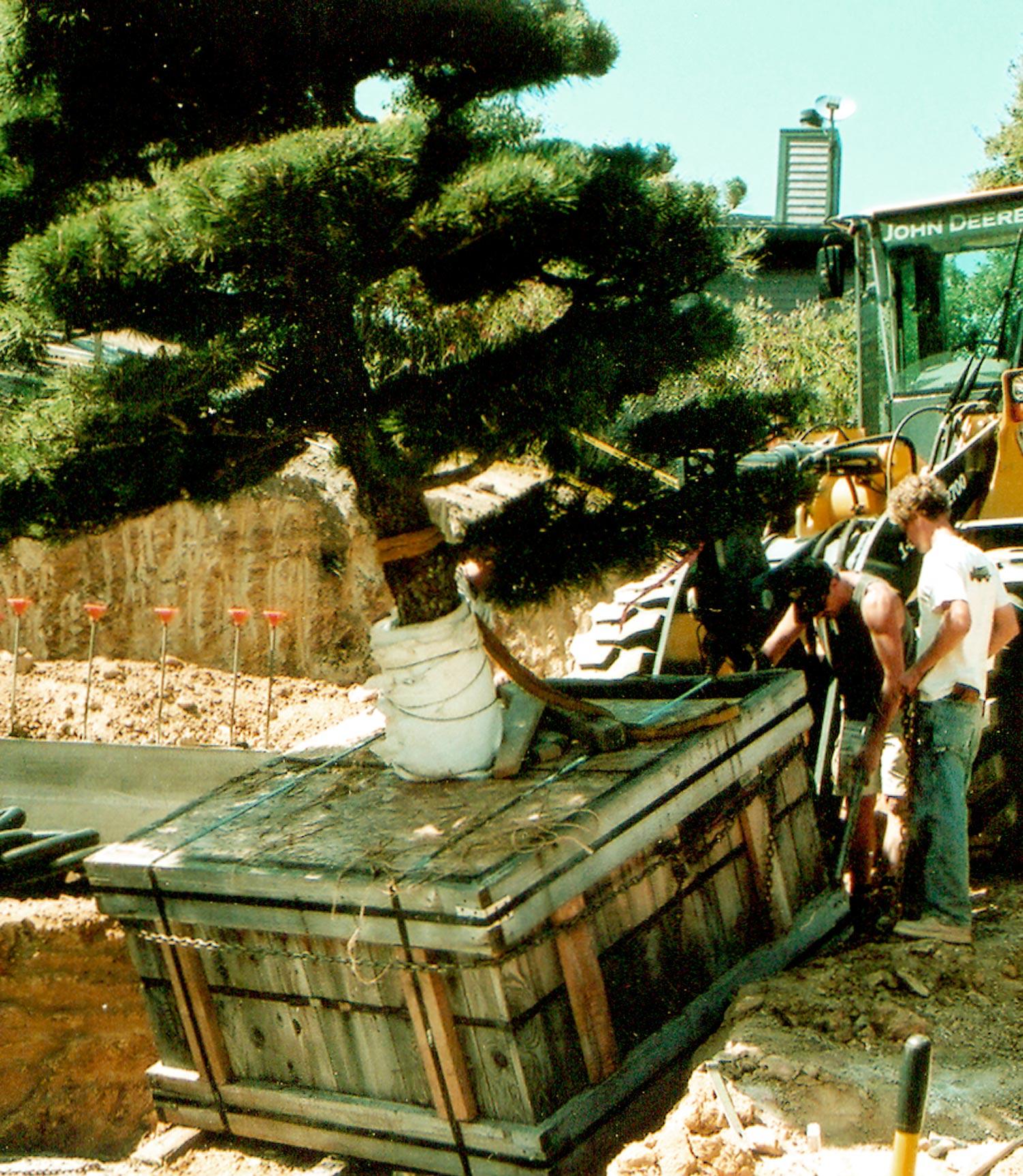 Planting a specimen sculpted pine