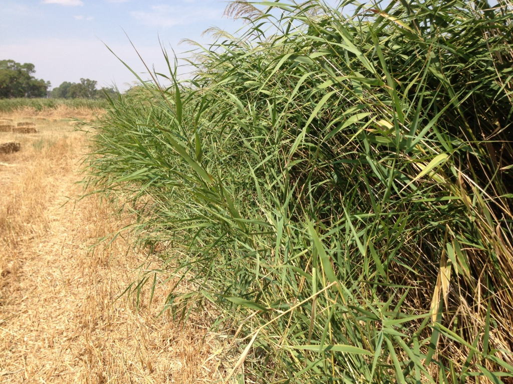Phragmites (common reed) used for creation of Biochar