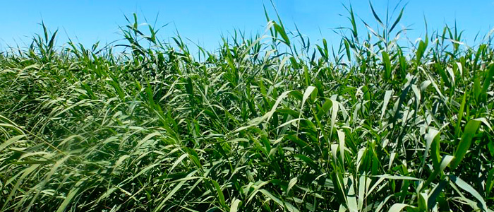 example of a Bioenergy opportunity crop
