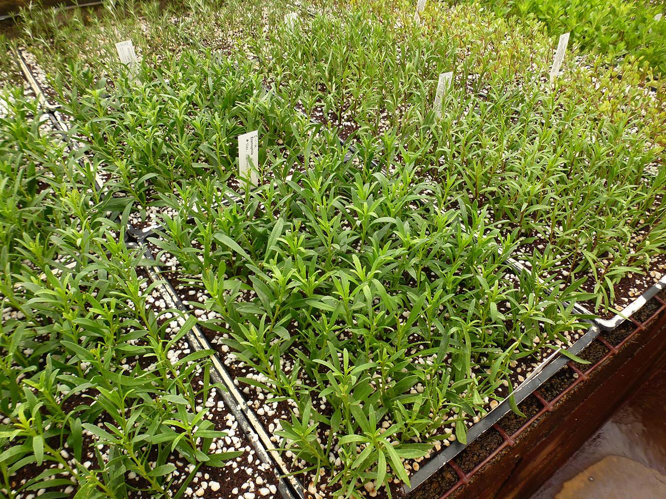 eremophylla-1030373.jpg