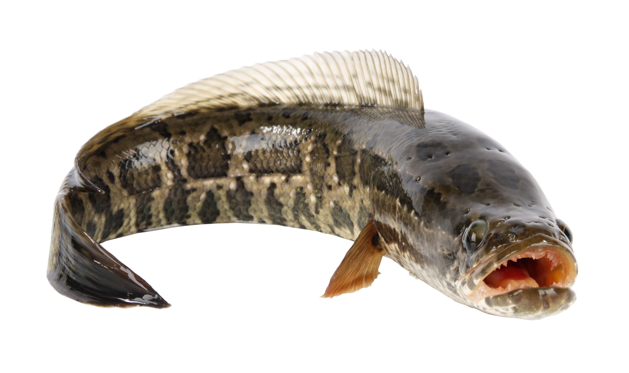 Snakehead on land