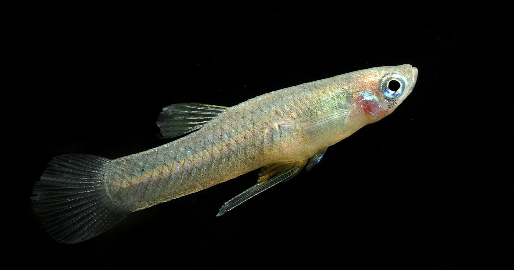 Male Mosquitofish
