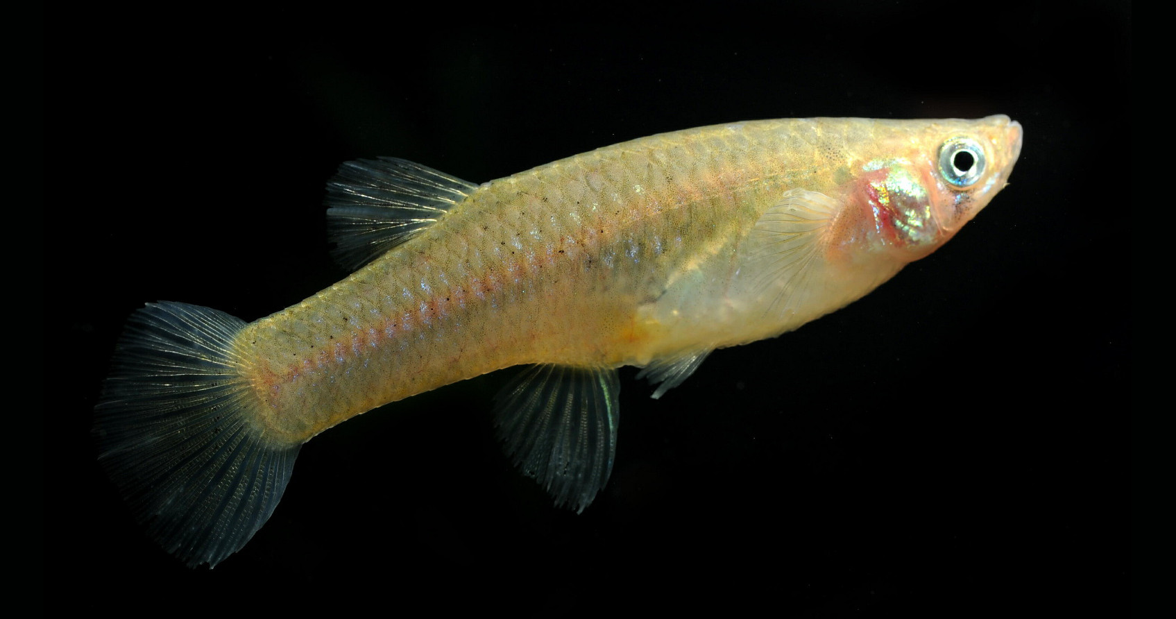Female Mosquitofish