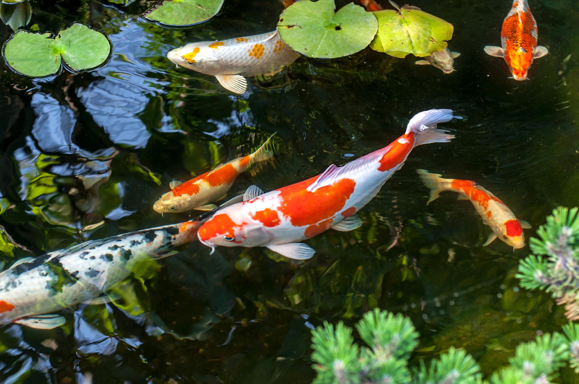 koi fish nishikigoi.jpeg