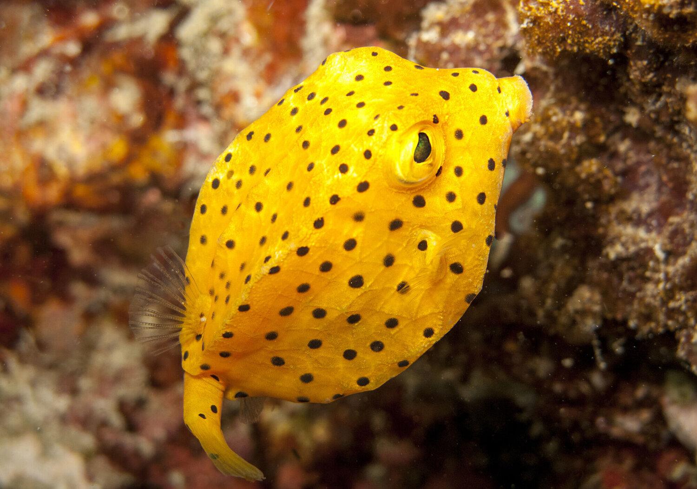 boxfish amarillo.jpg