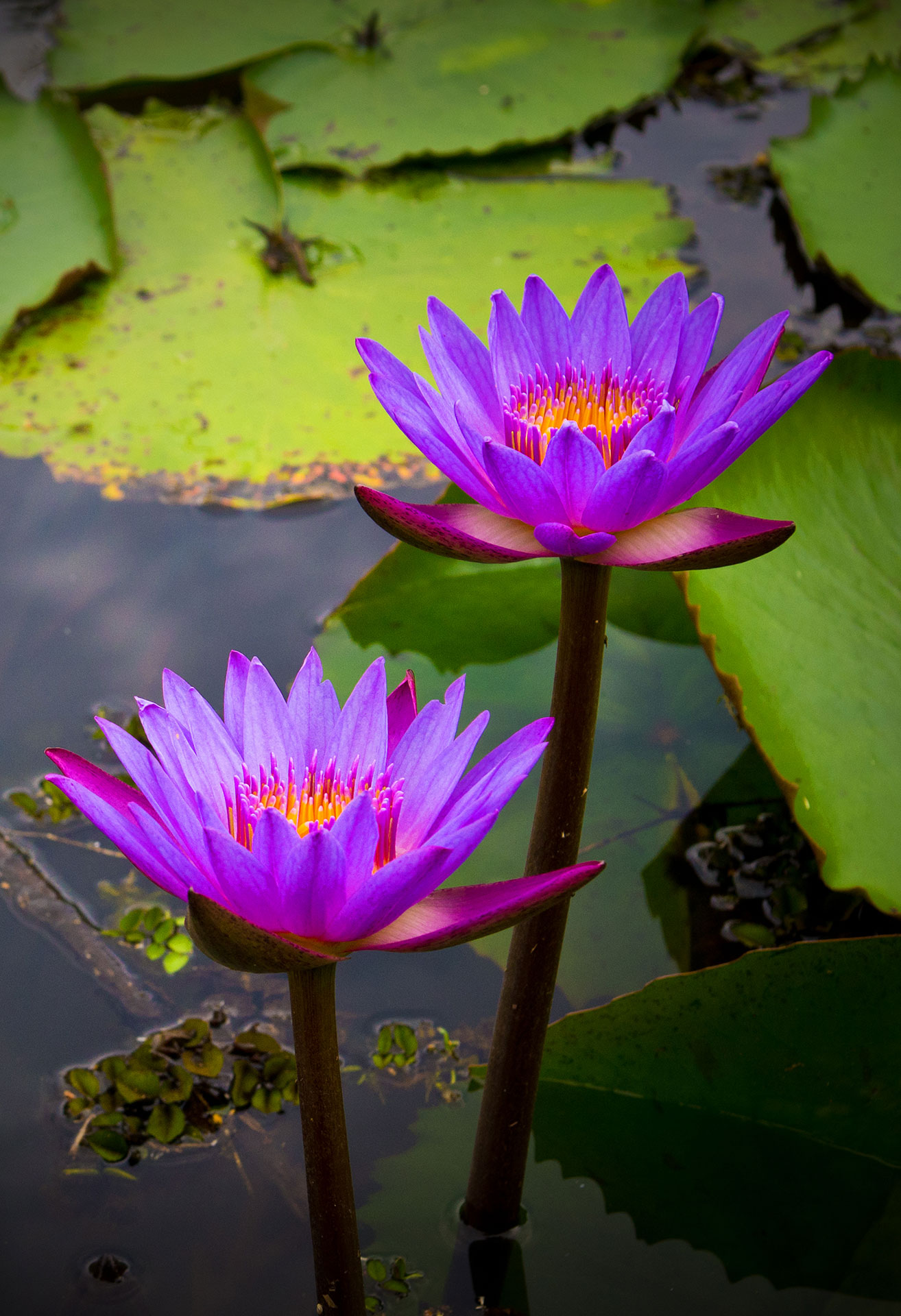 double water lily.jpg