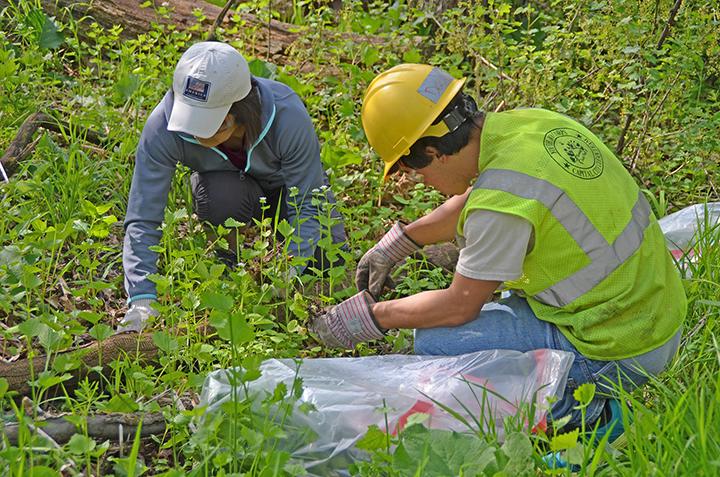 Photo: YO crew members worked with volunteers to remove invasive garlic mustard in Como Park.